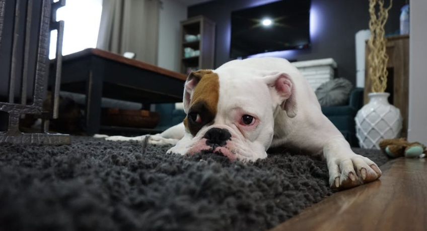 How To Remove Pet Stains And Keep Your Carpet Clean?